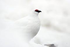 Rock Ptarmigan. Lagopus muta  winter plumage in Japan Stock Image
