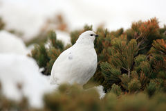 Rock Ptarmigan Royalty Free Stock Images