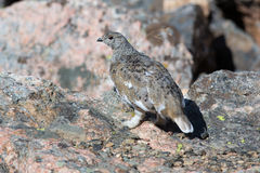 Rock ptarmigan at alert. Rock ptarmigan standing on rocks at alert Royalty Free Stock Photo