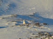 Rock Ptarmigan - Arctic, Spitsbergen Royalty Free Stock Image