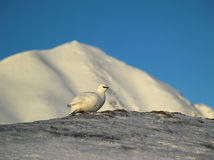 Rock Ptarmigan - Arctic, Spitsbergen Royalty Free Stock Photo