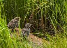 Rock Ptarmigan Chicks Stock Photography
