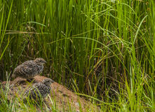 Rock Ptarmigan Chicks Royalty Free Stock Photography