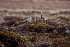 Rock ptarmigan. Couple on the tundra Royalty Free Stock Image