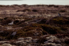 Rock ptarmigan. Couple on the tundra Stock Images