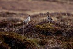 Rock ptarmigan. Couple on the tundra Stock Photo