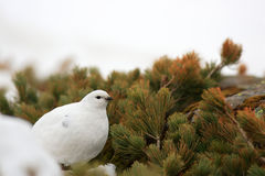 Rock Ptarmigan female. Rock Ptarmigan famale  Lagopus muta  winter plumage in Japan Stock Photo