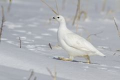 Rock ptarmigan female running through the snow on a winter sunny. Day Stock Images