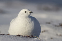Rock Ptarmigan female is sitting on the snow. In winter tundra Bering Island Stock Image