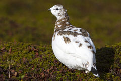 Rock Ptarmigan female standing in the autumn tundra sunny Royalty Free Stock Photos