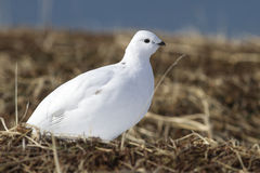Rock Ptarmigan female tundra on the shores of Bering Royalty Free Stock Images