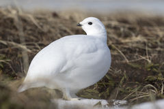 Rock Ptarmigan female tundra in spring Royalty Free Stock Photos