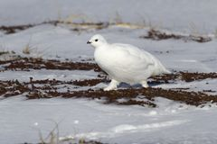 Rock ptarmigan female walking along the little snow-covered spri. Ng tundra Royalty Free Stock Photo