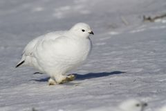 Rock ptarmigan female walking along the snow in the snow-covered. Tundra on a sunny winter day Royalty Free Stock Photography