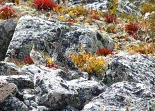 Rock Ptarmigan, Lagopus muta. Rock Ptarmigan bird, Lagopus muta, Altay Royalty Free Stock Photography