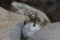 Rock Ptarmigan Lagopus Muta hiding among rocks showing the start of summer colours. Near Arviat, Nunavut Stock Photo