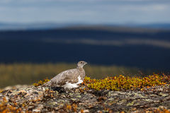 Rock ptarmigan Stock Images