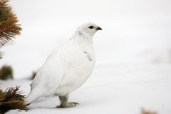 Rock Ptarmigan. (Lagopus muta) winter plumage in Japan Royalty Free Stock Photos