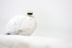 Rock Ptarmigan. (Lagopus muta) winter plumage in Japan Royalty Free Stock Photo