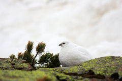 Rock Ptarmigan Stock Photo