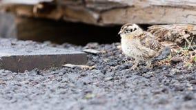 Rock ptarmigan (Lagopus mutus) chick Royalty Free Stock Photo