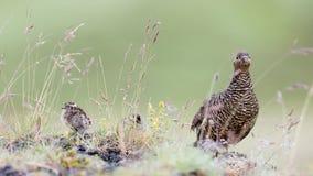 Rock ptarmigan (Lagopus mutus), female Royalty Free Stock Photos