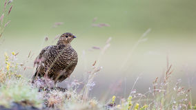 Rock ptarmigan (Lagopus mutus), female Stock Photos