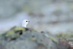 Rock Ptarmigan, Lagopus mutus, hidden portrait, white bird sitting on the snow, bird in the nature habitat, Norway Royalty Free Stock Photography