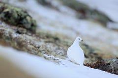Rock Ptarmigan, Lagopus mutus, white bird sitting on the snow, bird in the nature habitat, Norway Royalty Free Stock Photos