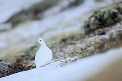 Rock Ptarmigan, Lagopus mutus, white bird sitting on the snow, bird in the nature habitat, Norway Royalty Free Stock Images