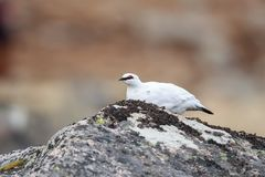 A Rock Ptarmigan male sitting on a rock royalty free stock photos