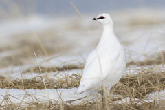 Rock Ptarmigan male standing in the snow among the dry grass on royalty free stock image