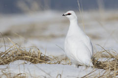 Rock Ptarmigan male standing in the snow among the grass Stock Images