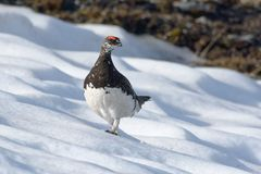 Rock Ptarmigan, male in summer plumage - Lagopus muta - Vanoise, Alps, France stock image