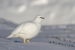 Rock Ptarmigan male who goes on winter tundra Royalty Free Stock Photography