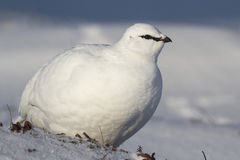 Rock Ptarmigan male who stands in the winter tundra Bering Islan Stock Photos