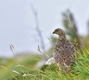 Rock ptarmigan, Snow chicken Lagopus mutus. stock photography