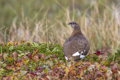 Rock ptarmigan which sits on the banks of the tundra. Lakes stock photography