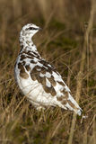Rock Ptarmigan in winter plumage autumn day in tundra Royalty Free Stock Photography