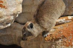 Rock rabbit climbing down Stock Photography