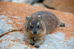 Rock rabbit or dassie Royalty Free Stock Images