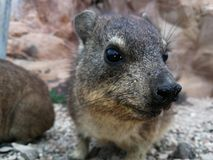 Rock rabbit Dassie royalty free stock photography