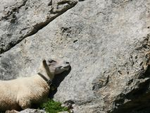 Sheep sleeps on a rock royalty free stock image