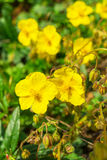 Rock rose Stock Photography