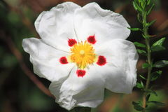 Rock Rose Royalty Free Stock Image