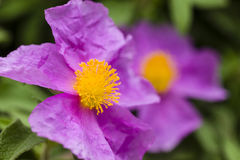 Rock rose pink flowers Royalty Free Stock Photography
