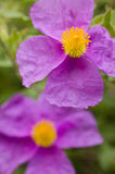 Rock rose pink flowers Royalty Free Stock Photos