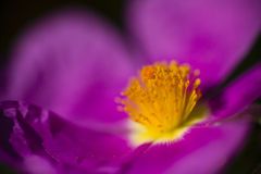Rock rose purple flower detail Stock Images