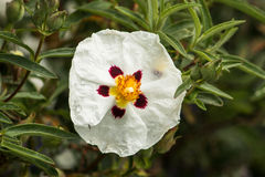 Rock rose with rain drops Stock Image