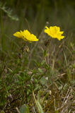 Rock-rose. Yellow flowers in the forest - Helianthemum nummularium Royalty Free Stock Images